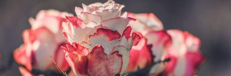 Rosen, Frühling